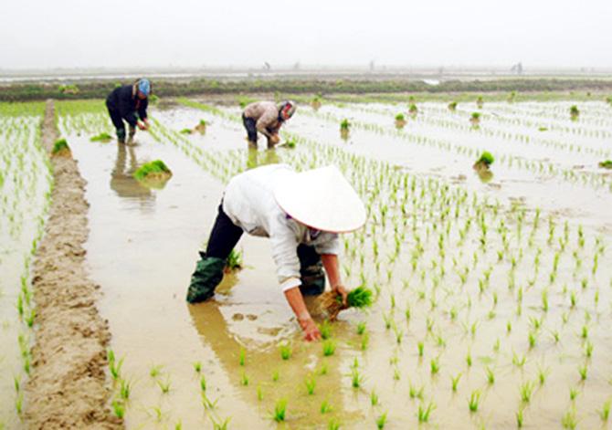 Hướng dẫn một số biện pháp kỹ thuật chăm sóc lúa vụ mùa 2020