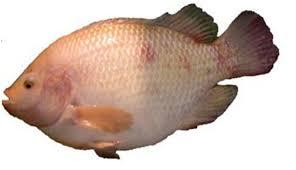 Một số bệnh thường gặp trên cá rô phi và biện pháp phòng, trị bệnh