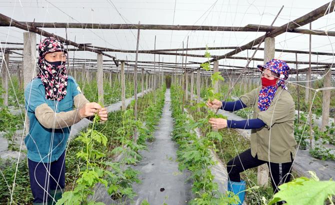 Nông nghiệp Vĩnh Phúc vững bước trên bước đường hội nhập