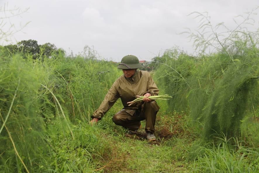 Thu nhập cao từ trồng măng tây xanh